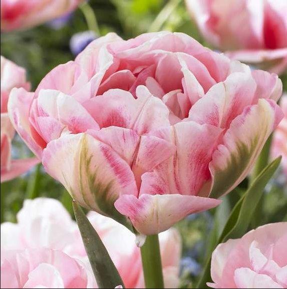 Finola Tulips