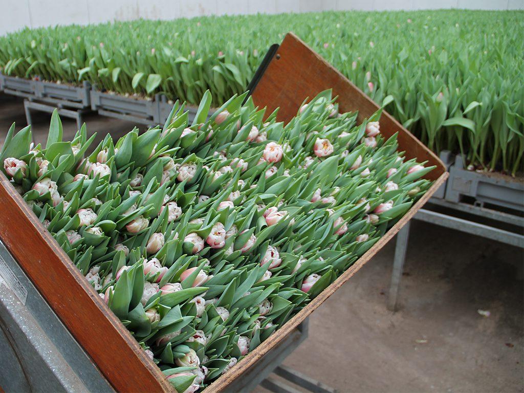 Tulips Hilverda De Boer