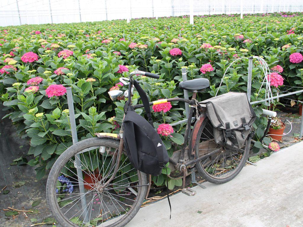 Hydrangea_Bike