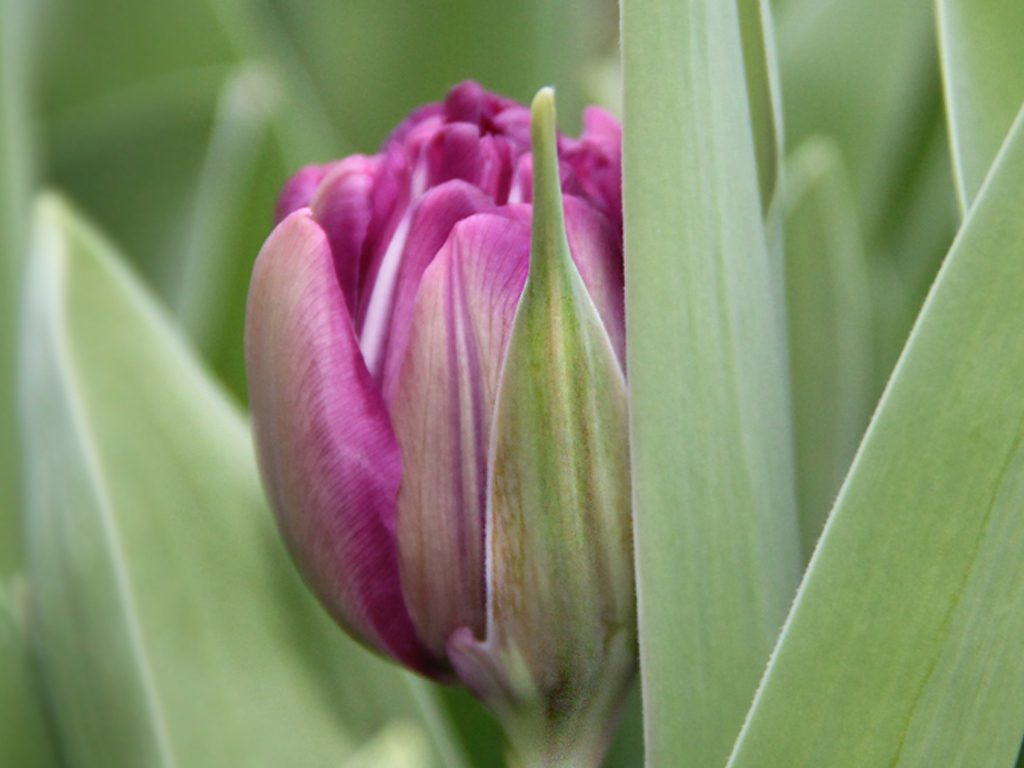 Tulip for JW Reus